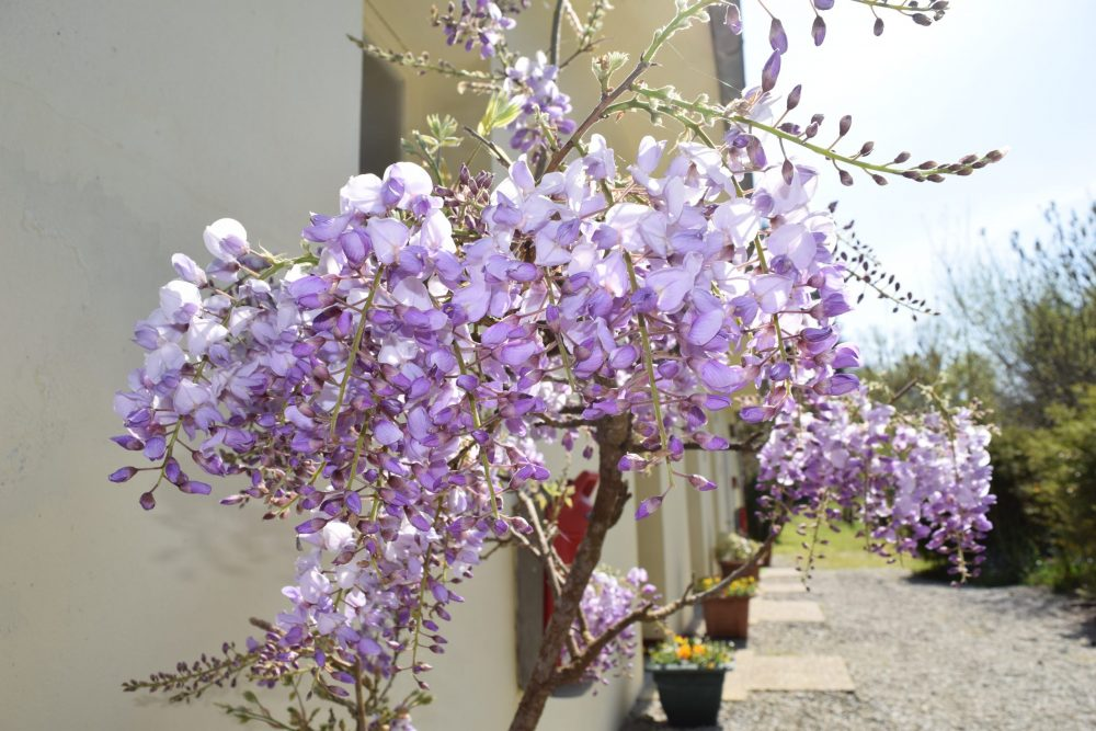 Wisteria outside Sanitaires